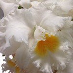 Cattleya Orchids – A Beautiful Touch For Your Wedding Floral Designs